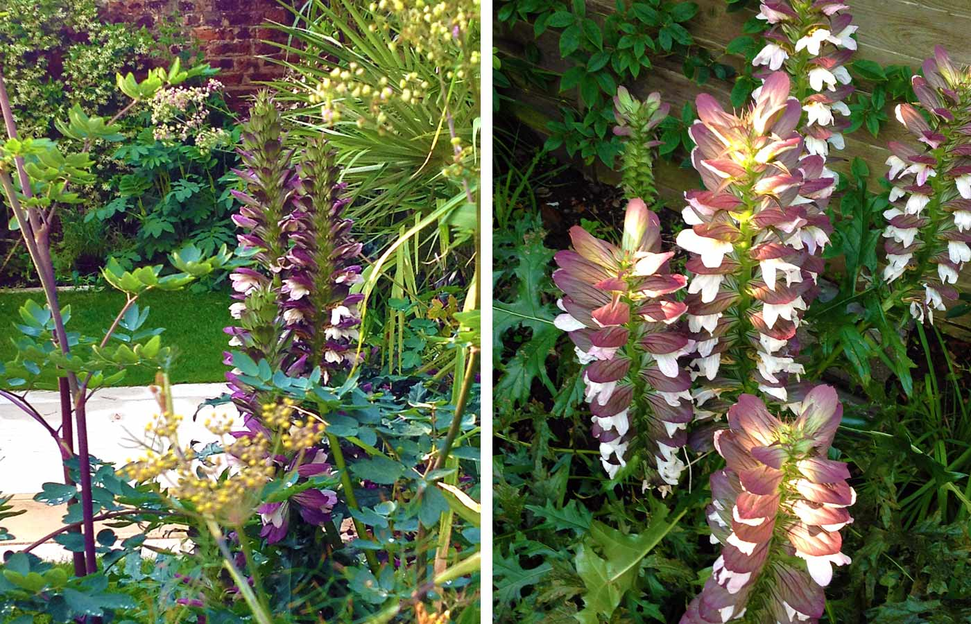 Acanthus, thalictrum and fennel