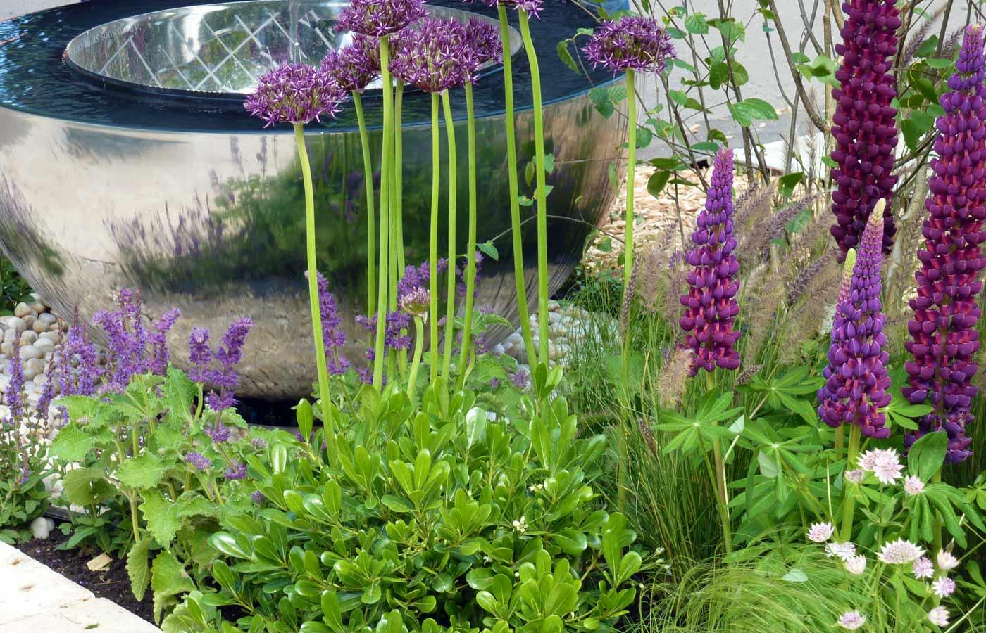 Allium Firmament, Lupinus Masterpiece, Pennisetum setaceum at Chelsea Flower Show