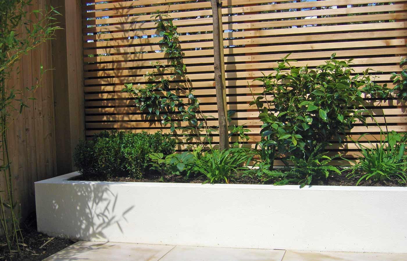 Trachelospermum jasminoides, box cubes in Putney garden