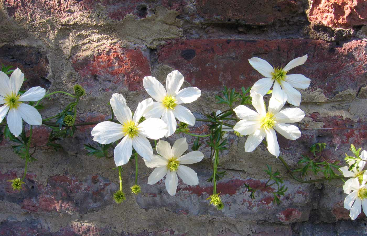 Clematis on the rear wall