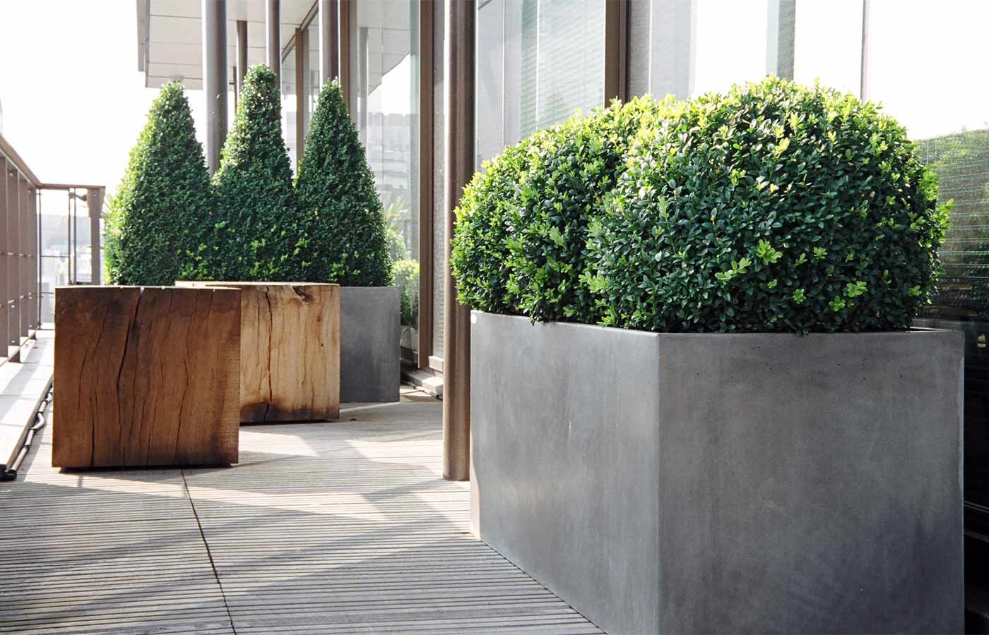 Clipped box shapes in planters on roof terrace