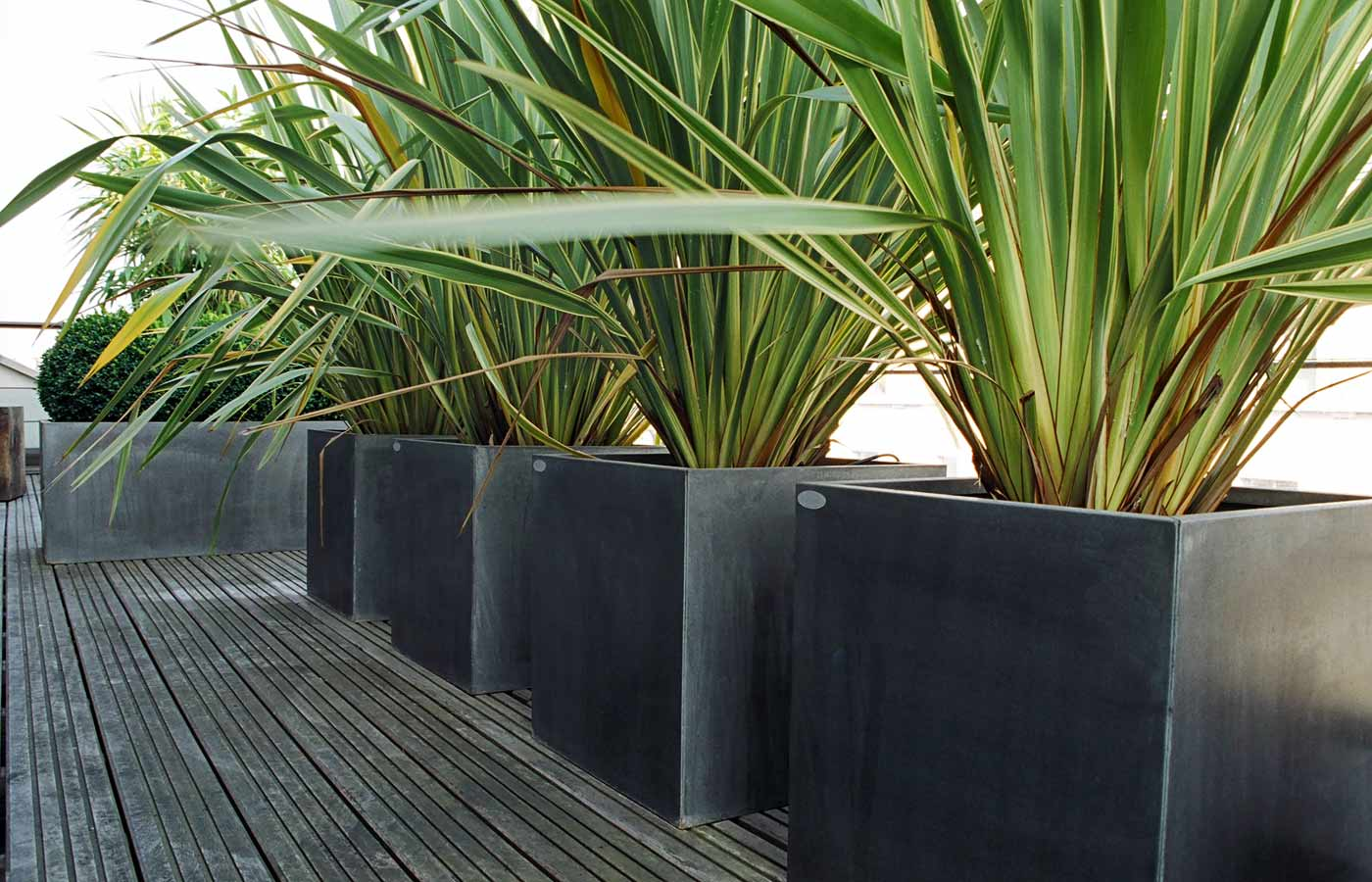 Phormium Yellow Wave, galvanised planters on roof garden