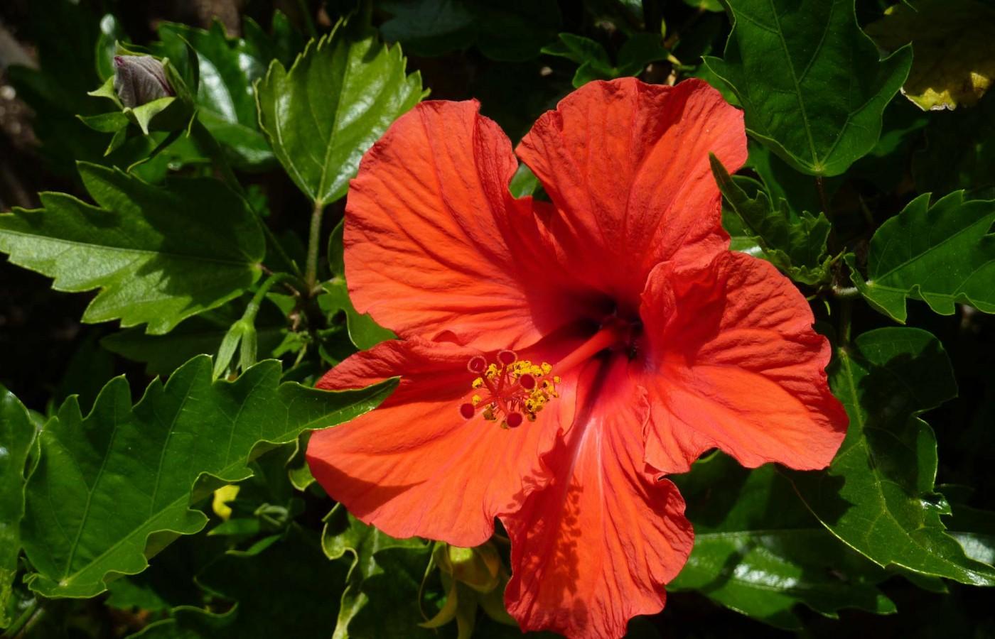 Hibiscus - exotic planting