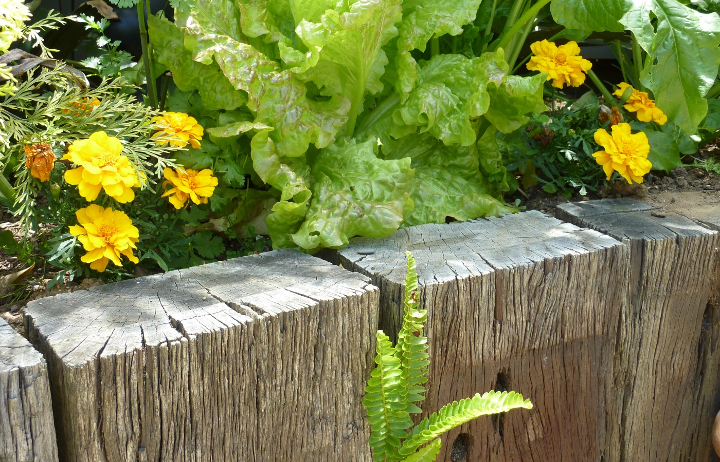 Vegetables and companion planting in raised bed