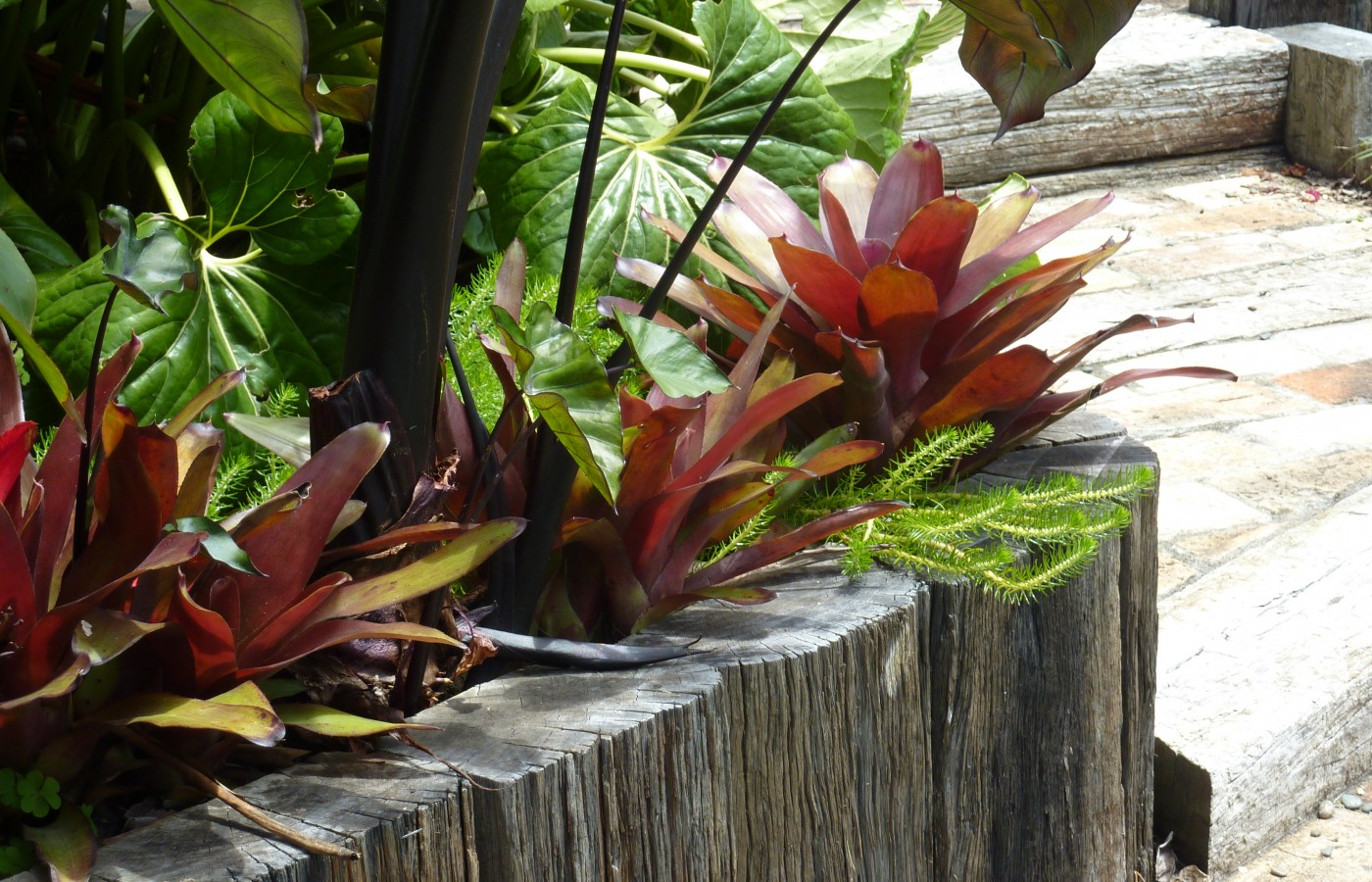 Bromeliads exotic planting in raised bed of reclaimed sleepers